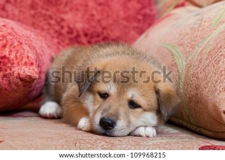 Small, yellow puppy huskies and akita on the bed - stock photo