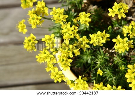 Small yellow spring flowers pot on stock photo royalty free small yellow spring flowers in a pot on wooden background mightylinksfo