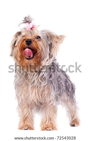 small yorkshire terrier licking its nose while looking at something with great interest - stock photo