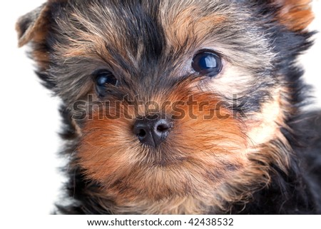 Small Yorkshire Terrier puppy on white background
