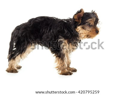 Small Yorkshire Terrier puppy standing isolated - stock photo