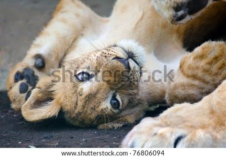 small young lion