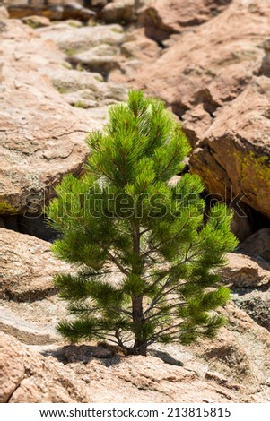 Small young ponderosa pine tree grows from rocky plateau by Turtle Rocks near Buena Vista Colorado, famous for climbing - stock photo