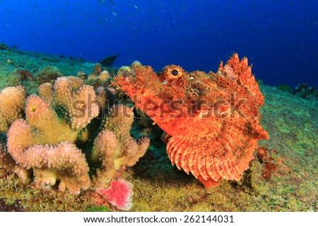 Smallscale Scorpionfish - stock photo