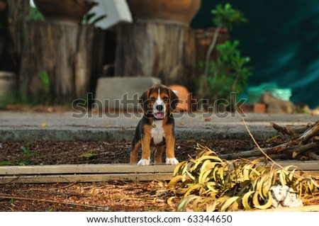 smart Beagle - stock photo