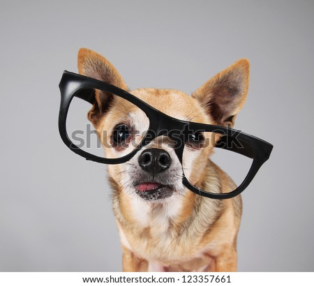 smart chihuahua wearing glasses - stock photo