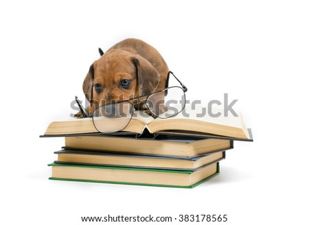 Smart dachshund puppy reading a book