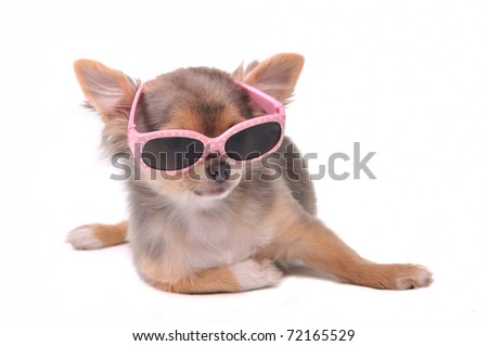 Smart dog. Chihuahua Puppy Wearing Pink Sun Glasses Isolated on White Background - stock photo