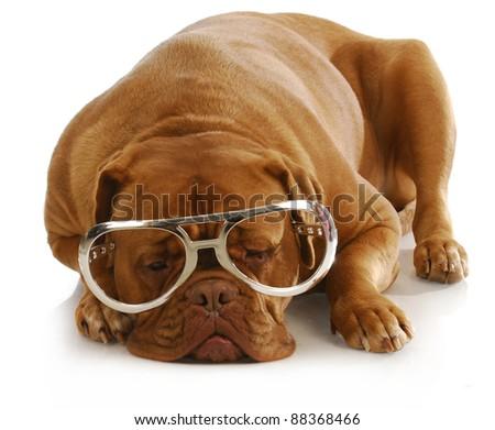 smart dog - dogue de bordeaux wearing large glasses - stock photo