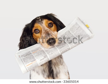 Smart dog fetching the newspaper - stock photo