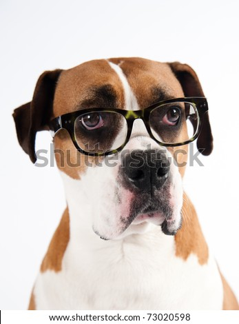 Smart Looking Dog Wearing Green Tortoise Shell Glasses - stock photo