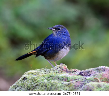 Smart male of White-bellied Redstart (Hodgsonius phaenicuroides) the beautiful blue bird standing on the mossy rock showing its nice chest feathers - stock photo