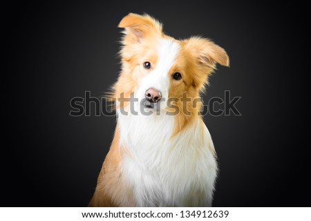Smart red border collie looking at you - stock photo