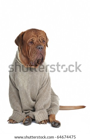 Smart Serious Dog sitting in a Sweater