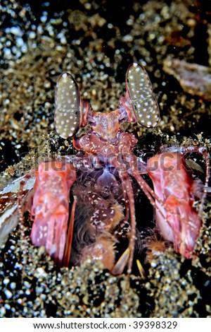 smashing mantis shrimp - stock photo