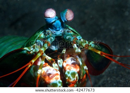 smashing mantis shrimp, (Odontodactylus scyllarus) Depth range 1 to 50 meters. This widespread species lives in u-shaped burrows constructed of small pieces og rubble.