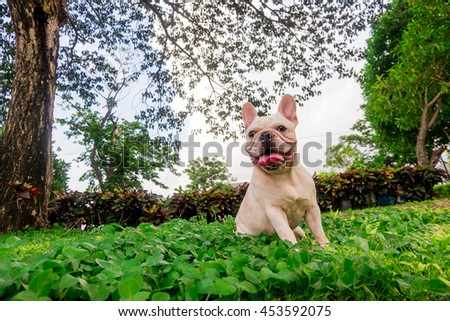 Smile French Bulldog in leaf Field, Green park