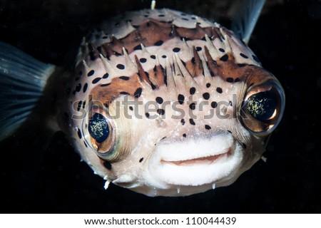 smile of balloon fish - stock photo