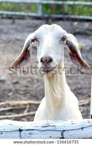Smile white goat - stock photo