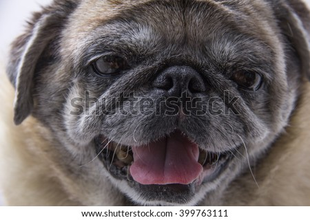 smiley pug on white background with close-up shot.