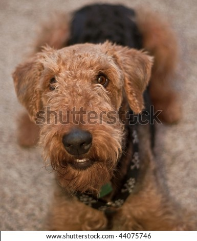 Smiling airedale terrier laying down inside - stock photo