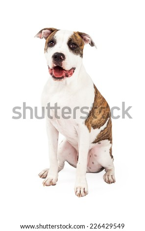 Smiling American Staffordshire Terrier Dog sitting while looking into the camera. Mouth is open.