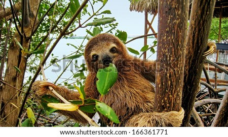 Smiling baby Brown throated Three toed sloth in the mangrove, Caribbean,  Costa Rica - stock photo