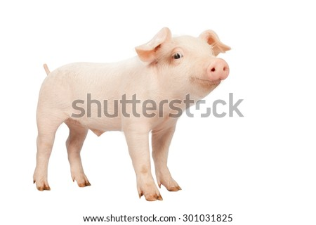 smiling baby pig clipping path on white background.Isolated on white background. - stock photo