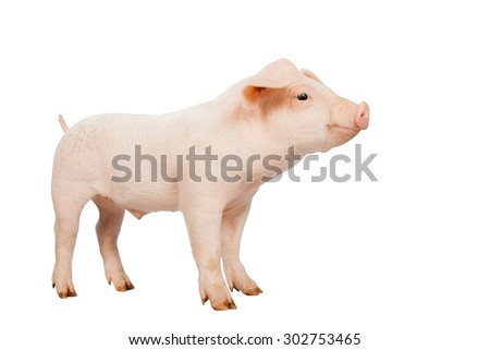smiling baby pig ears pointing down clipping path on white background.Isolated on white background. - stock photo