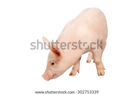 smiling baby pig ears pointing up clipping path on white background.Isolated on white background. - stock photo
