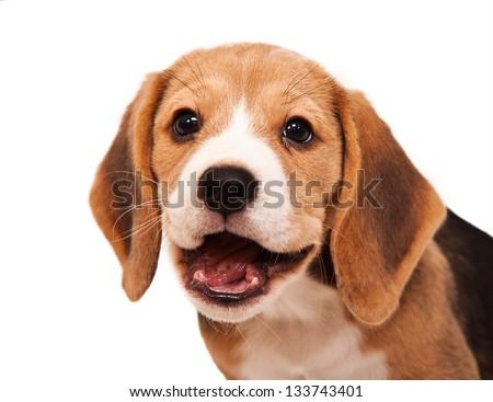 Smiling beagle puppy portrait - stock photo