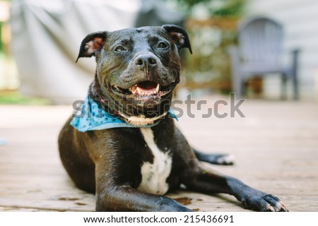 Smiling Black American PitBull wearing a blue bandanna.  - stock photo