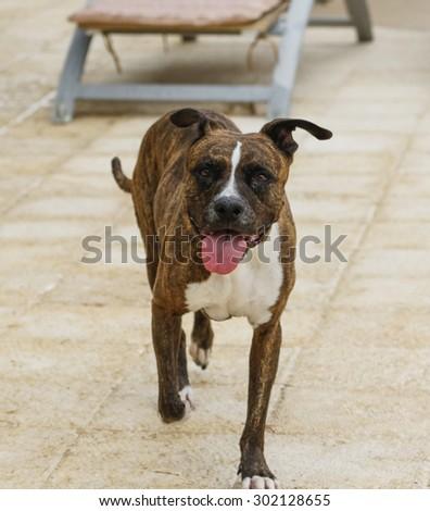 Smiling brindle dog walking around the pool deck - stock photo