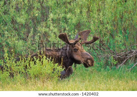 smiling bull moose with velvet antlers sits in willows near grand teton national park in wyoming