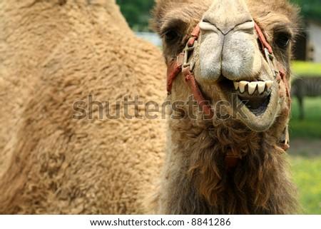smiling camel - stock photo