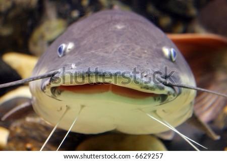 Smiling catfish - stock photo