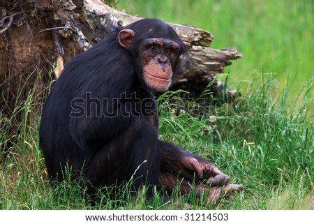 Smiling Chimpanzee sitting in front of a tree stump