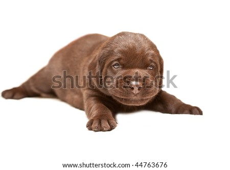 Smiling Chocolate puppy of breed Labrador 3 weeks age on white background
