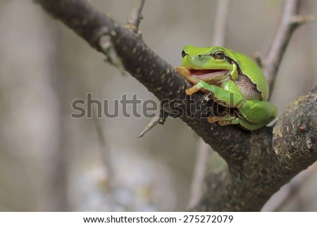 Smiling European tree frog, Hyla arborea - stock photo