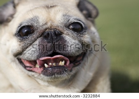 Smiling Fawn Pug - stock photo