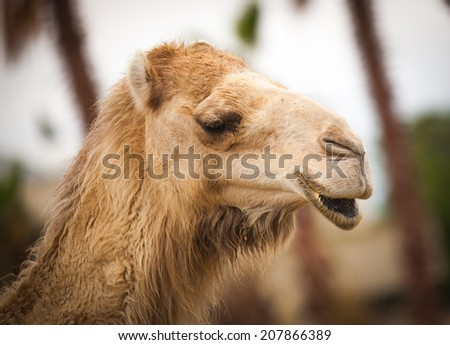 smiling funny camel - stock photo