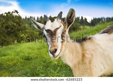 smiling goat in the photo