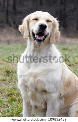 Smiling golden retriever dog - stock photo