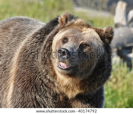 Smiling Grizzly Bear - stock photo