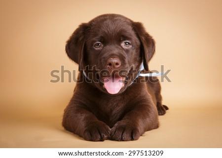Smiling happy Chocolate labrador retriever puppy lying on tan background studio photo - stock photo