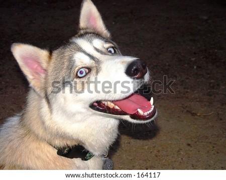 Smiling husky dog in dark - stock photo
