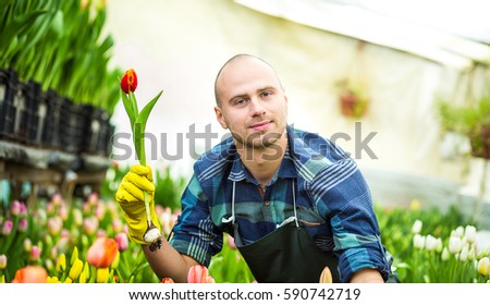 Smiling man gardener florist holding a flower standing in a greenhouse where the tulips cultivate