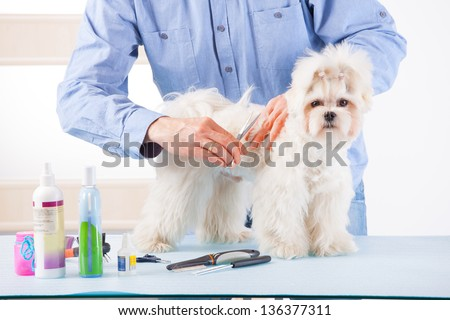 Smiling man grooming a dog purebreed maltese with scissors - stock photo