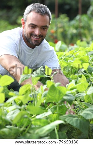 Smiling man picking peppers - stock photo