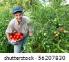 Smiling man picking tomatoes in his garden. - stock photo